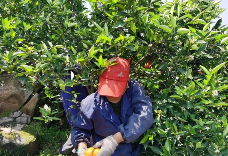 尚層裝飾湖北員工和果農一直采摘臍橙
